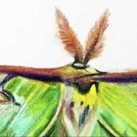 Drawing a Real Live Fairy: The Luna Moth